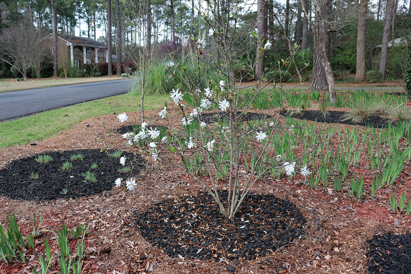 After a record number of white blooms, the Star Magnolia is beginning to turn green.  Like other plants in the yard, this shrub seemed to grow quite a bit last year.