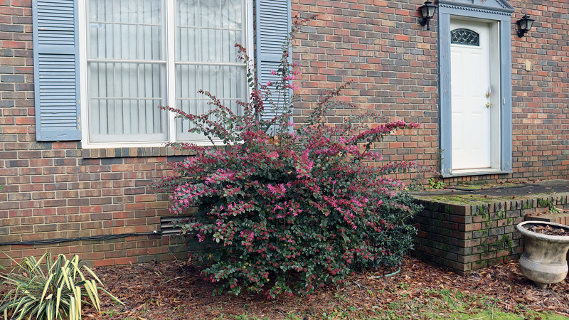 These loropetalums will grow taller than the front windows if left to their own devices.  My neighbor has one next to her mailbox that is around 15 feet tall and looks spectacular right now.  I wish I could move these bushes out into the yard where I could let them grow.