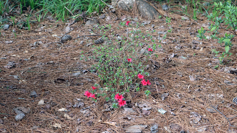 """I didn't see as many blooms this year on the small relocated azalea than in previous years.  This must be a different variety of azalea than all the others because, while flowering nicely each spring, it doesn't seem to """"grow.""""  It seems to have remained the exact same size since I discovered it several years ago."""