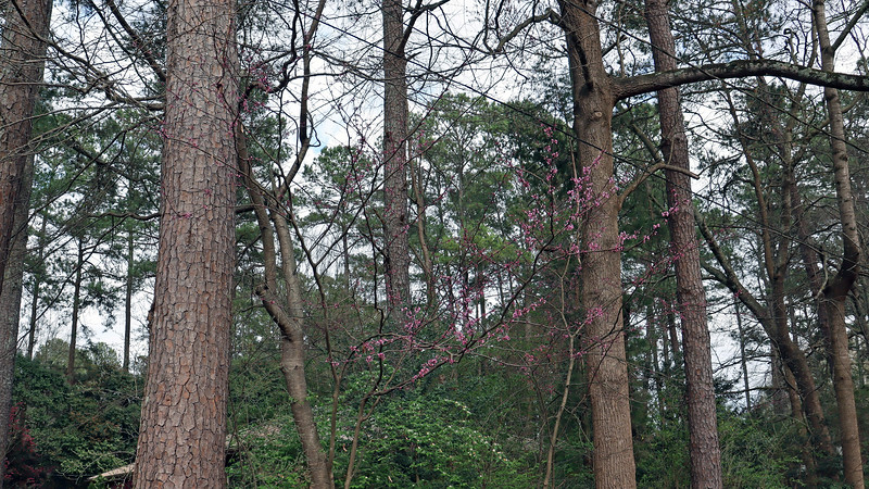 I have a couple of redbud trees mixed in with the azaleas.  Now that I'm starting to clean that area out a little, maybe these trees will be happier.
