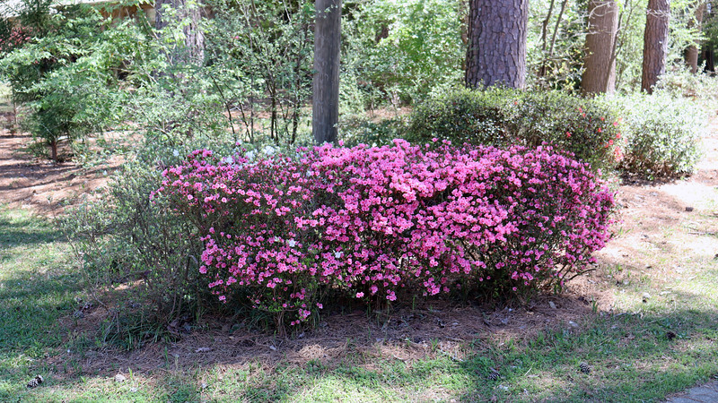 The pink half of the first azalea cluster is blooming nicely.  All these years of pruning and shaping have paid off.