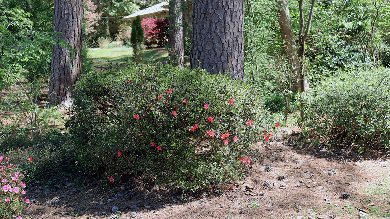 A few red blooms are appearing on the second azalea.