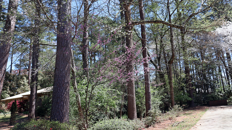 There are two redbud trees and one cherry tree behind the azaleas.