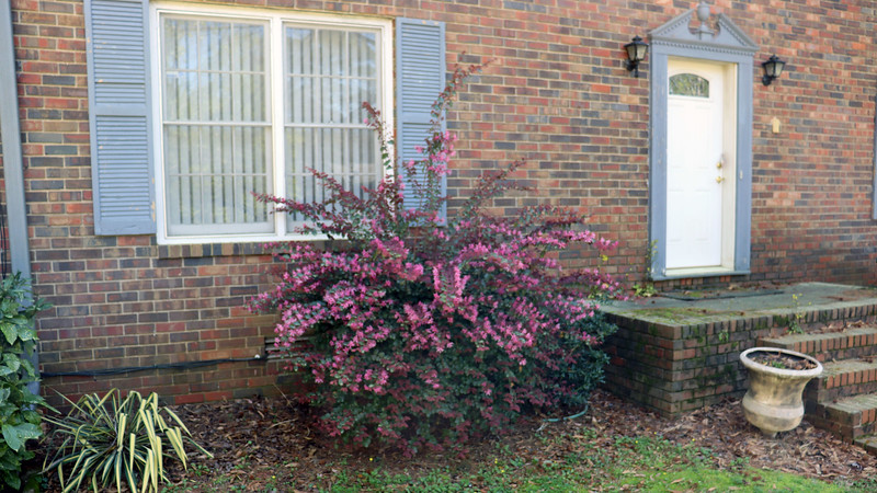 I wish I could move these shrubs away from the house to an area where they could grow to their fullest.