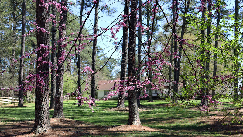 Redbud tree against the back fence.