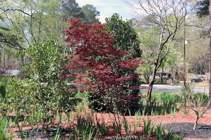 Before resuming with the red mulch part of the project, I took my usual stroll around the yard.  I love the color contrast between the Japanese Maple tree and everything else around it in green.