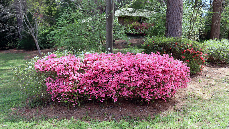 The pink half of the first azalea cluster looks great !