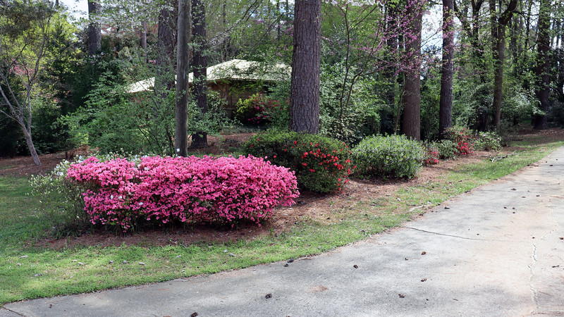 The driveway azaleas continue to do their thing.