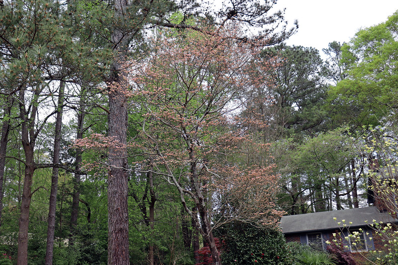 The large dogwood is starting to bloom.