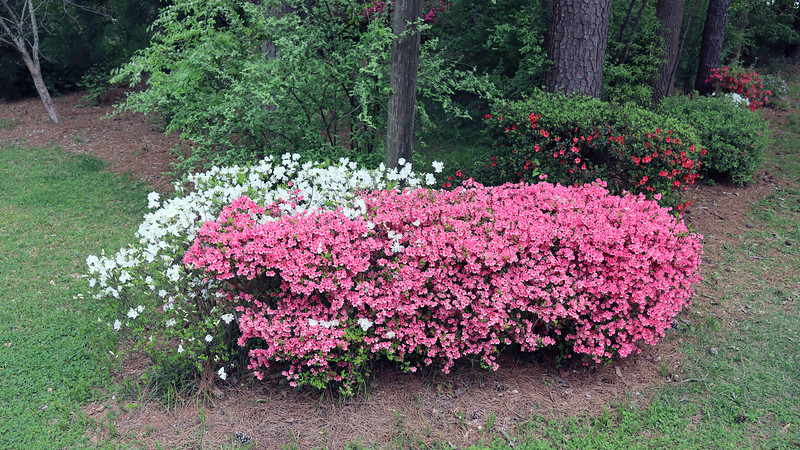 The first azalea cluster looks great !