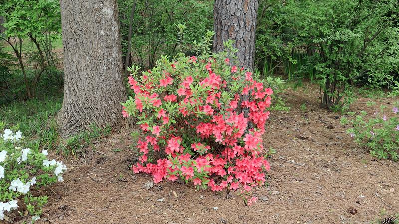 The seventh azalea looks great !