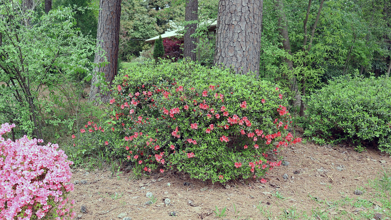 More blooms have appeared on the second azalea.