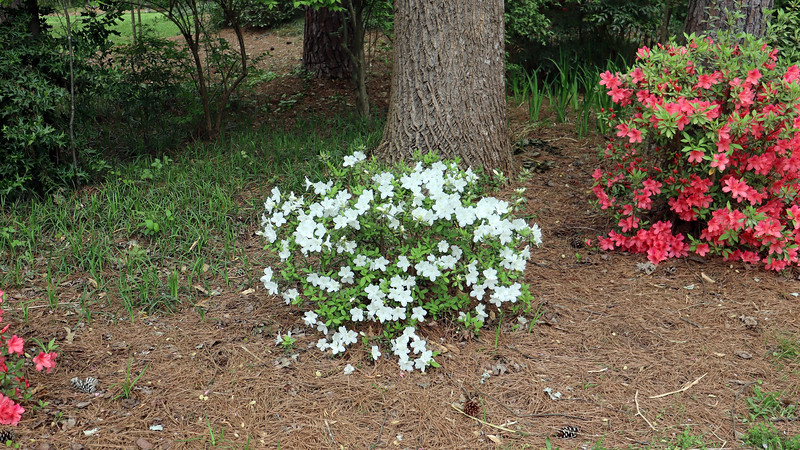 The Delaware Valley White azalea looks great !  This is the most I've seen this shrub bloom.
