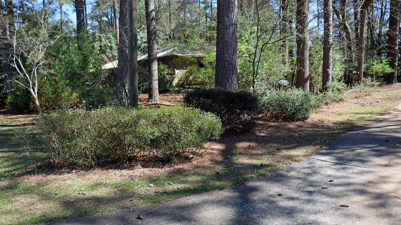 The driveway azaleas should be starting to bloom very soon.
