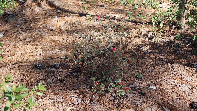 The fourth azalea in line, (the small relocated azalea from the other side of the yard), is blooming first like it always does.