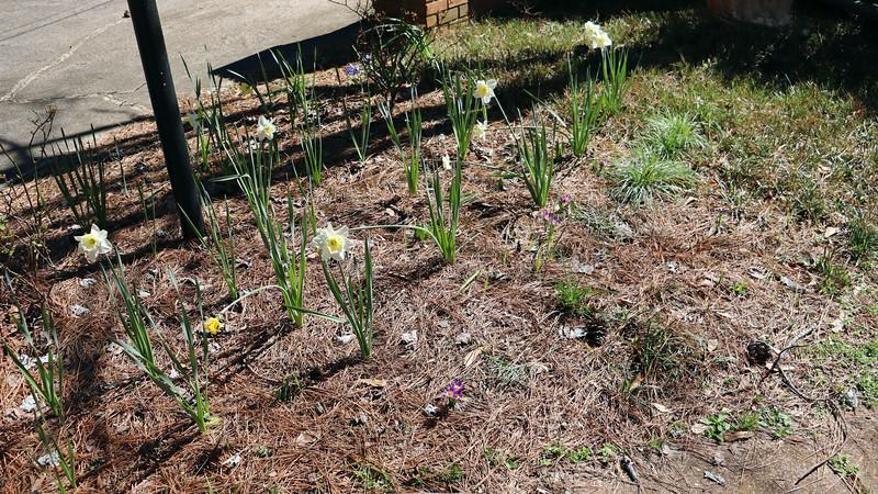 I still have a few daffodils blooming.