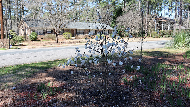 The Star Magnolia looks great.