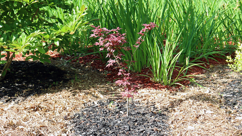 The small volunteer Japanese Maple tree I transplanted from the backyard seems to be happy.
