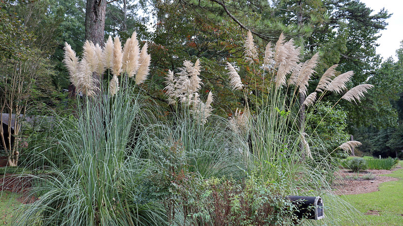 The pampas grass looked great this year.