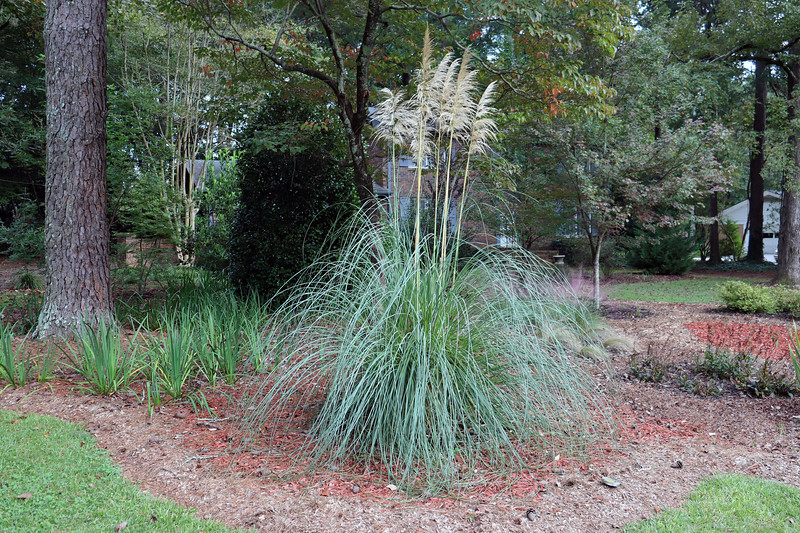 Removing all of the irises that surrounded the other pampas grass plant will give it more room.