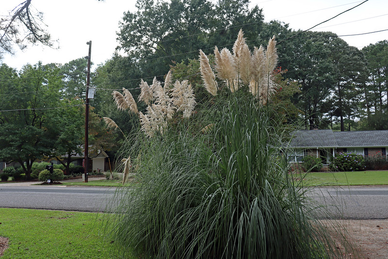 I had more pampas grass blooms this year than ever before.