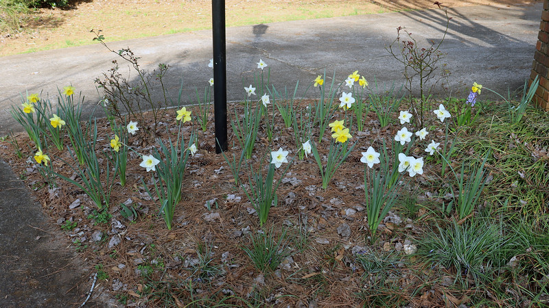 The crocus bulbs finished a few weeks ago.  But the daffodils are still going strong.  I started seeing blooms around February 21.  That means the photos above from March 13 indicate they have been blooming for 22 days.