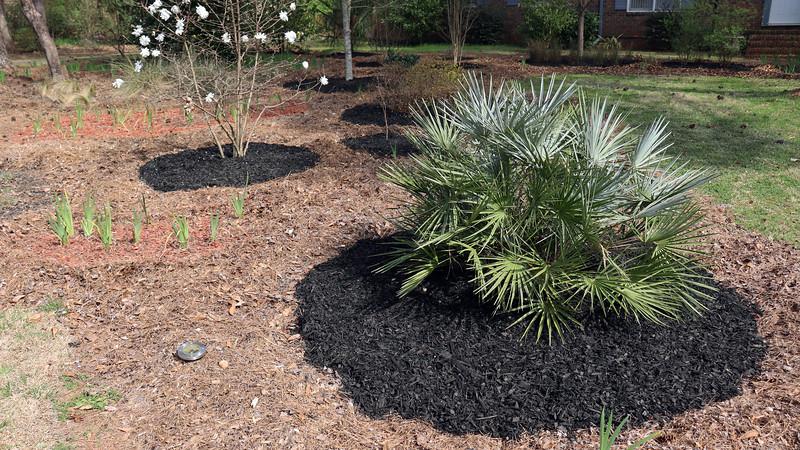 The Star Magnolia and Silver European Fan Palm tree got black mulch.