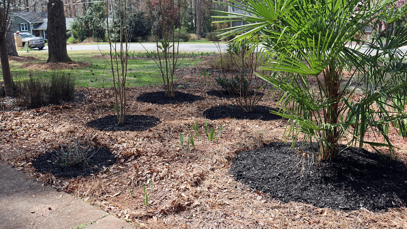 I had to add a couple of bags of garden soil around the Windmill Palm tree at the start of this season after it developed a pronounced lean.  I'm hoping the layer of black mulch around the palm tree will help stabilize it even further.