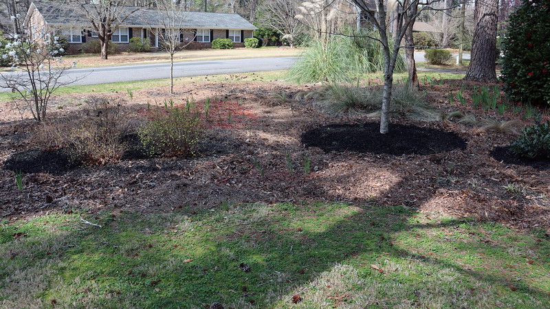 The Otto Luyken Cherry Laurel, the maple tree, and the Goldmound Spireas  all got a fresh layer of black mulch.