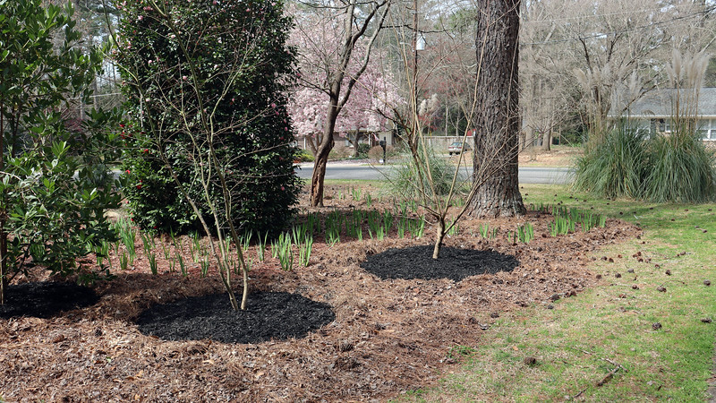 The plan for this year is the same as it has been since I started using different colors of mulch.  Everything but the Yellow Flag irises gets black mulch, and the irises get red mulch.