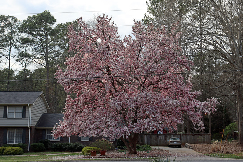 I've come to regard this tree as one of the centerpieces of the neighborhood.