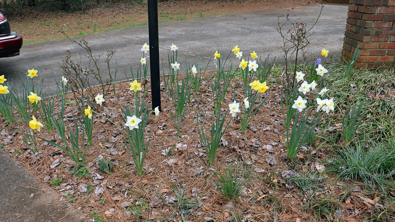The daffodils have been blooming since late February and still look great.