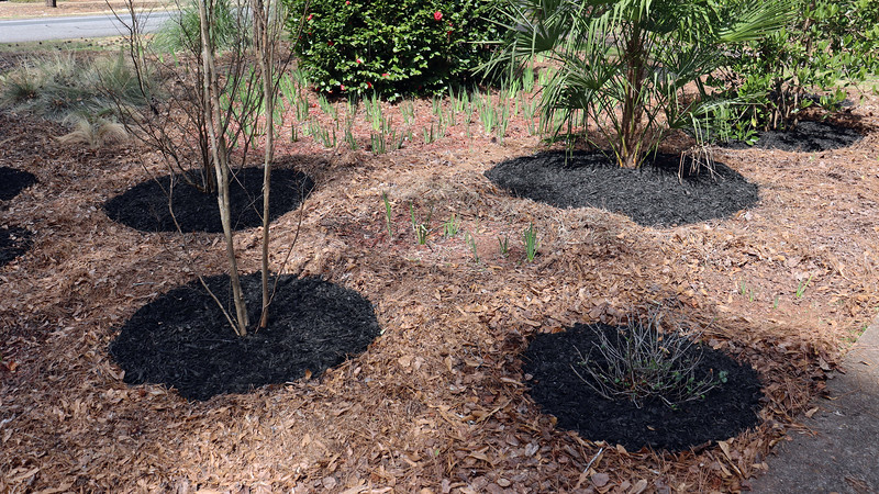 The crape myrtles (left side of the photo above), and the newly relocated Eleanor Tabor Indian Hawthorn all got a fresh layer of black mulch.