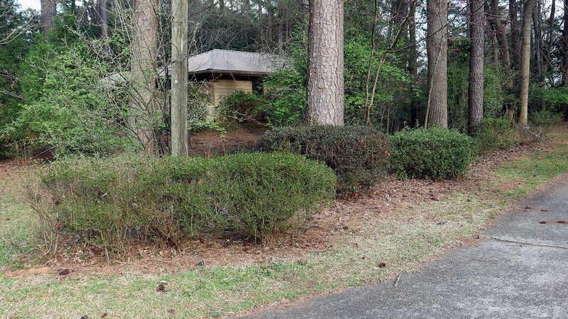 Not much happening with the driveway azaleas yet.