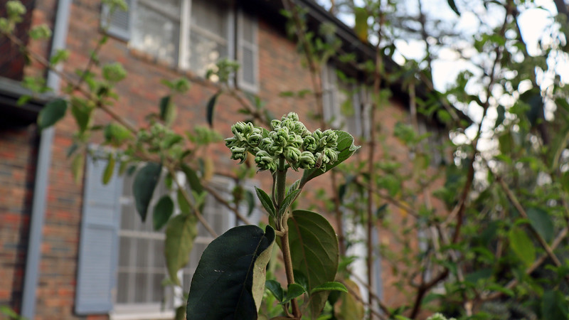 The buds are getting bigger, and will soon turn white.