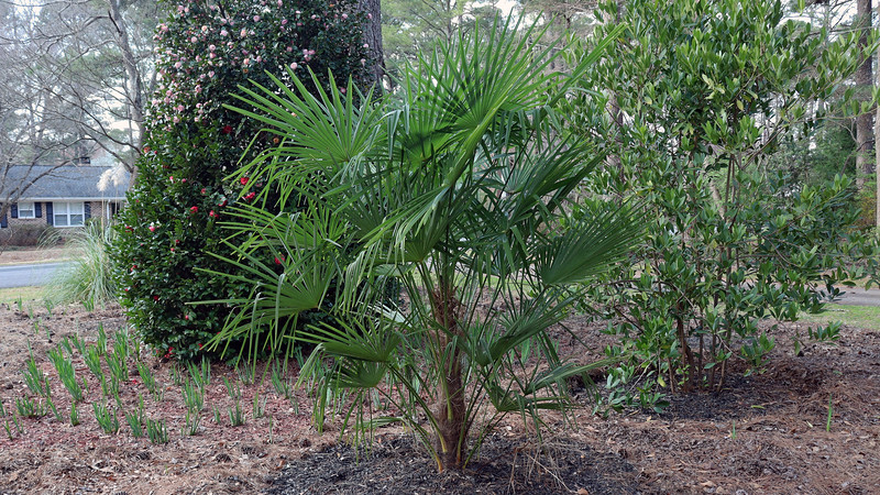The recently stabilized Windmill Palm tree looks fine.