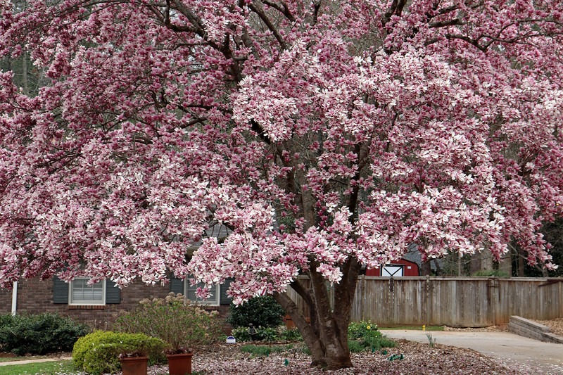 A beautiful sight each spring.