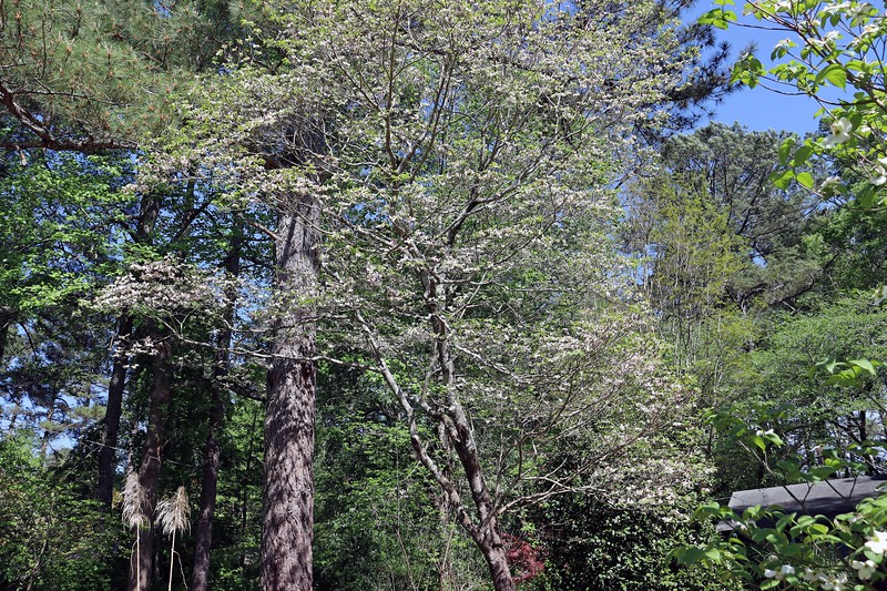 The large dogwood does its thing each spring without any input from me, which is good.