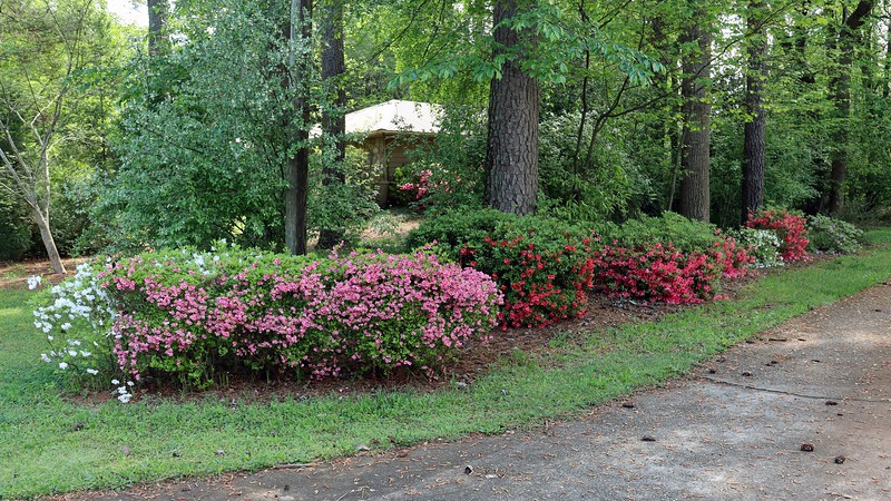 The driveway azaleas all did very well this season.