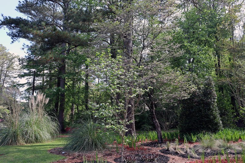 Both dogwoods seem to have peaked and are now turning green.