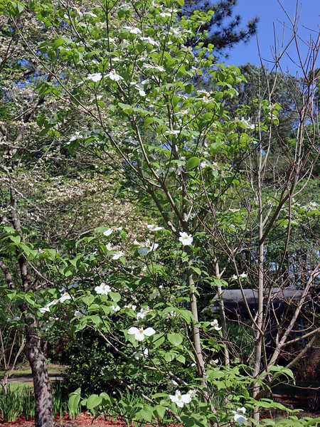 This is interesting.  Half of the Dogwood Cherokee Princess seems to be dead.  I'll have to investigate.