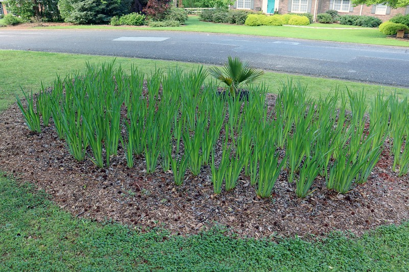 The large area of irises seen in the photo above was the only area that remained.  Time to get started.