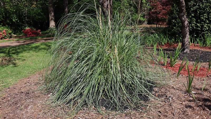 In what turned out to be one of the more difficult aspects of this project, I spread a layer of black mulch around the single pampas grass plant next to the irises.  Pampas grass is quite sharp, and trying to avoid getting sliced proved to be quite challenging.