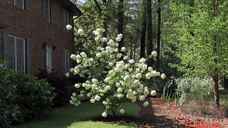 """The Chinese Snowball looks """"bent over"""" to one side thanks to some heavy rain last night."""