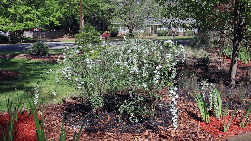 Same with the Reeves Spireas.  The long and thin branches will bend when water gathers on the leaves and flowers.