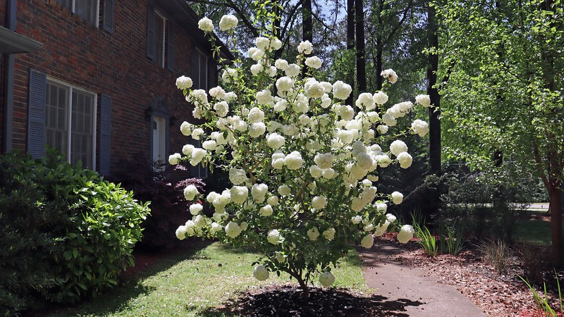 I was headed to work on this beautiful afternoon and decided to snap a few pics.  The Chinese Snowball is still in full bloom and looks wonderful !