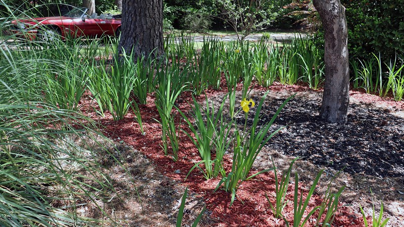 I also started to see some blooms in the other iris areas as well.