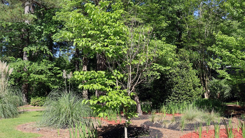 Half of my Dogwood Cherokee Princess still seems dead.  I'm not sure what's going on here, other than I'm not alone.  My neighbor is having the same problem.