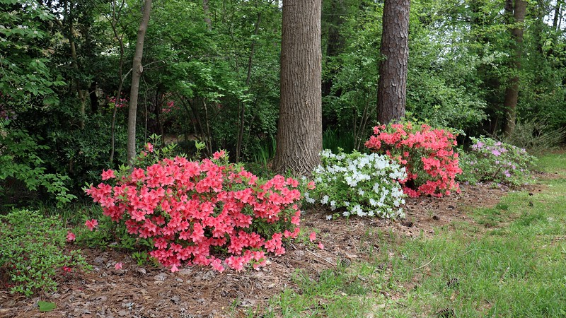 The other azaleas in line also look great !