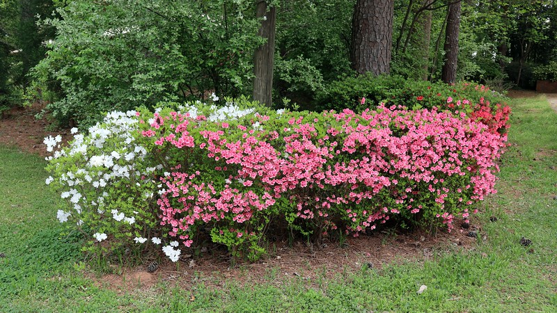 The pink half of the first azalea cluster seems to have peaked.  The white half just turned white recently.